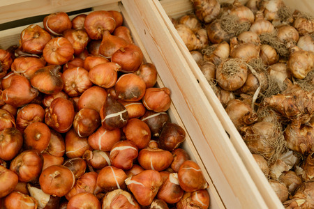 assorted crates of tulip bulbs photo