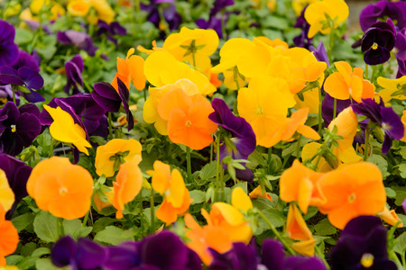 palettes of multi-colored pansies in a nursery