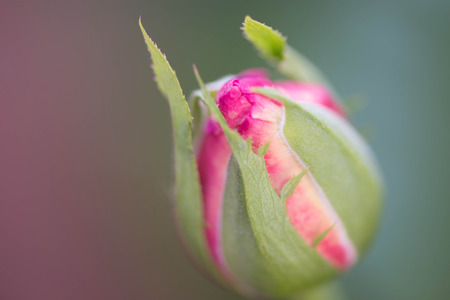 pink rose bud in the garden