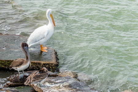 Galveston Island, Texas에서의 Pelicans