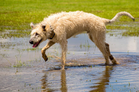 fetch: Dogs playing in a flooded, wet grass dogpark