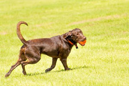perros jugando: Perros que juegan en un inundado, hierba mojada dogpark