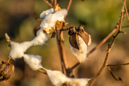 bolls: natural cotton bolls in the field ready for harvesting