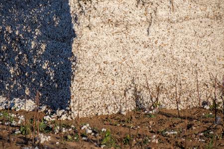 plant gossypium: capsule di cotone naturali in campo pronte per la raccolta Archivio Fotografico