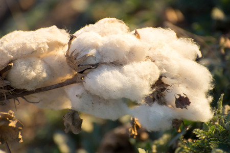 plant gossypium: natural cotton bolls in the field ready for harvesting