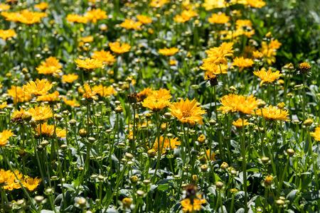 tickseed: yellow Jethro Tull Coreopsis spring flowers - Buttter Daisy