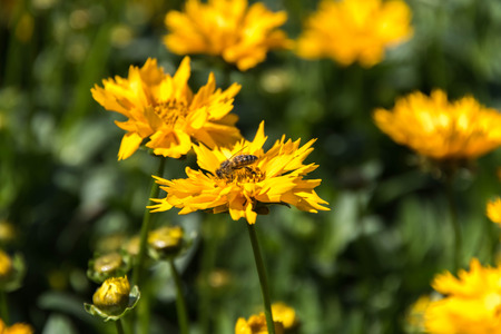 tickseed: bee pollinating yellow Jethro Tull Coreopsis spring flowers - Buttter Daisy