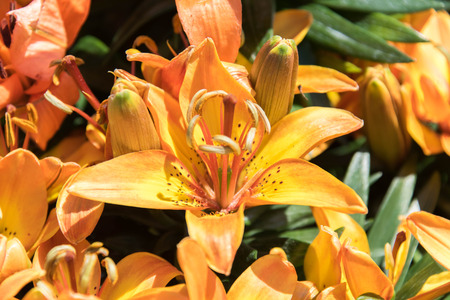 asiatic: orange and yellow Asiatic Lilies spring flowers Stock Photo