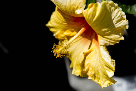 pink and yellow spring hibiscus flowers