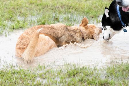dogs playing: perros que juegan en un dogpark inundado