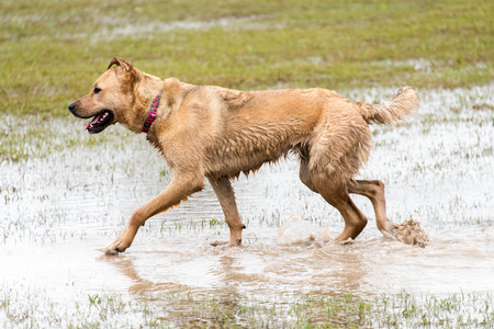 dogs playing: dogs playing in a flooded dogpark Stock Photo