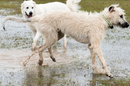 great pyrenees: Irish Wolfhound playing in a flooded dogpark