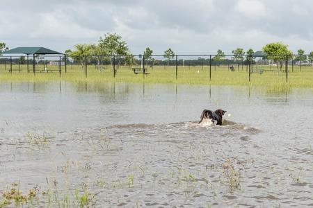 Hund im stehenden Hochwasser über Felder und Wege schwimmen Standard-Bild - 40508363
