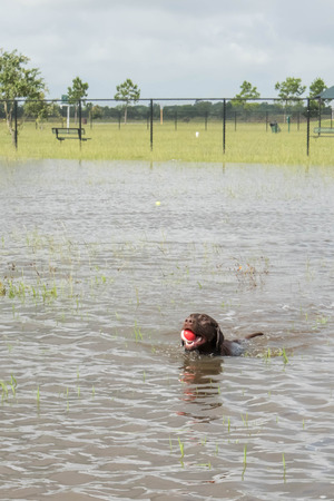 fetch: May 30, 2015 - Beverly Kaufman Dog Park, Katy, TX: dogs playing swim fetch in standing flood waters covering fields and trails