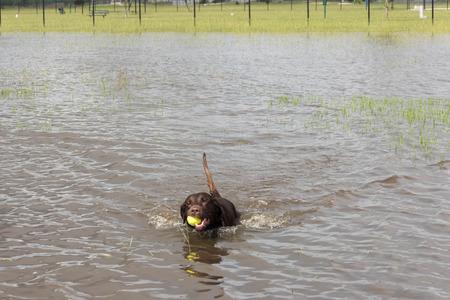 Hund Schwimmen im stehenden Flutwasser in Bereichen und Wanderwege Standard-Bild - 40508409