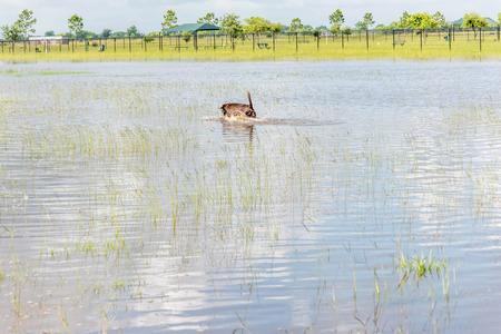 Hund Schwimmen im stehenden Flutwasser in Bereichen und Wanderwege Standard-Bild - 40508412