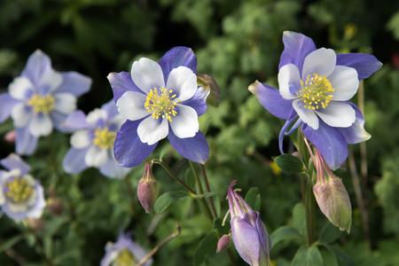 un campo con las Montañas Rocosas flores azul columbine Foto de archivo
