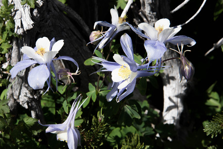 columbine: a field with Rocky Mountain blue columbine flowers