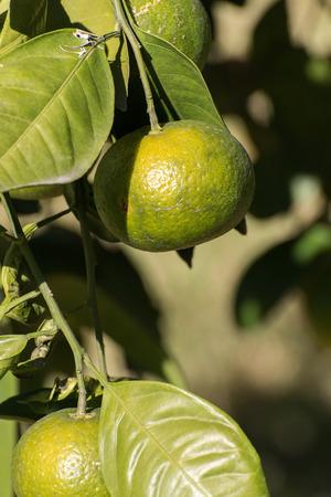 rama con las naranjas orgánicas frescas que crecen en el sol