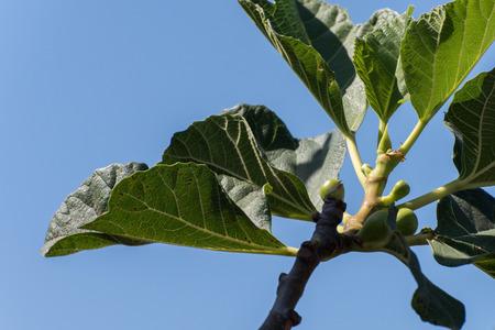 una rama con higos creciente, contra un cielo azul