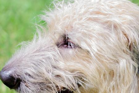 close up of a wheaten irish wolfhound