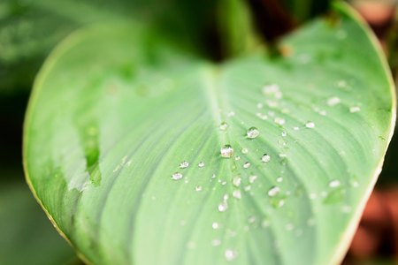 drops of water collected on large green garden leaves from a recent rain Stock Photo