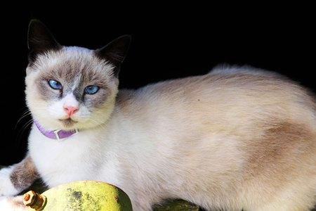 gato granero blanco con ojos azules