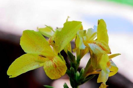 flores de primavera de iris amarillo en plena floración