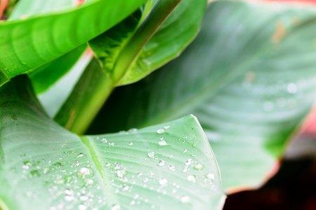 gotas de agua recogidas en grandes hojas de jardín verde de una lluvia reciente