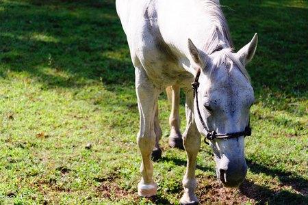 caballo de cuarto blanco de pie sobre la hierba verde Foto de archivo