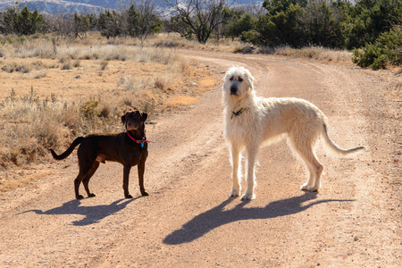 Chocolate lab and Irish Wolfhound playing outdoors on a dirt road
