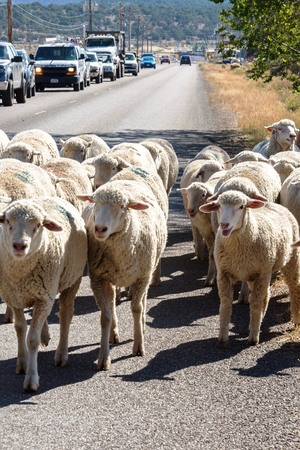 sheep being herded on a livestock corridor road Archivio Fotografico - 116653451
