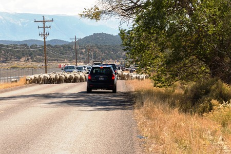 sheep being herded on a livestock corridor road Archivio Fotografico - 116653454