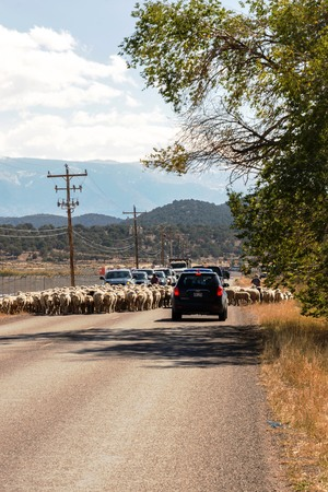 sheep being herded on a livestock corridor road Archivio Fotografico - 116653455