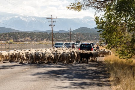 sheep being herded on a livestock corridor road Archivio Fotografico - 116653456