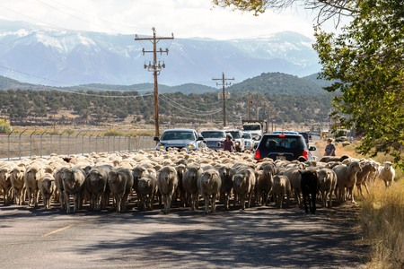 sheep being herded on a livestock corridor road Archivio Fotografico - 116653457
