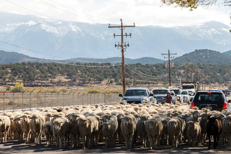 sheep being herded on a livestock corridor road Archivio Fotografico - 116653458