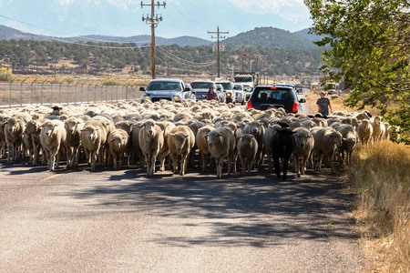 sheep being herded on a livestock corridor road Archivio Fotografico - 116653459