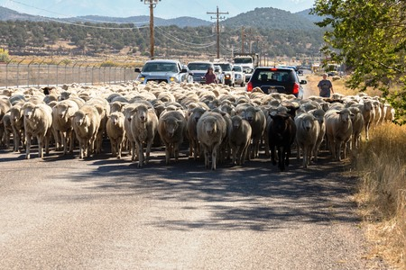 sheep being herded on a livestock corridor road Archivio Fotografico - 116653461