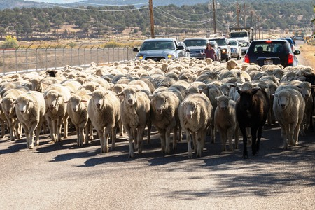 sheep being herded on a livestock corridor road Archivio Fotografico - 116653465
