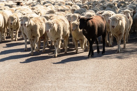 sheep being herded on a livestock corridor road Archivio Fotografico - 116653521