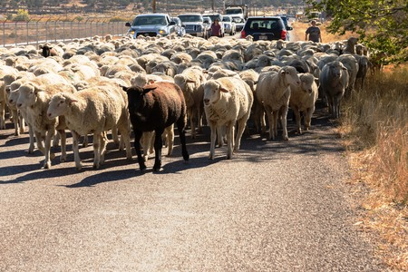 sheep being herded on a livestock corridor road Archivio Fotografico - 116653522