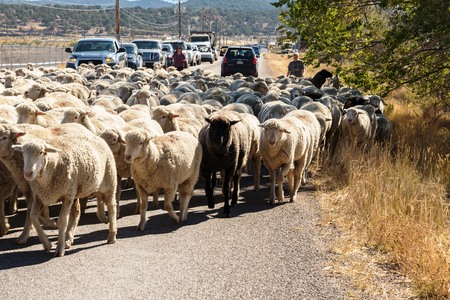 sheep being herded on a livestock corridor road Archivio Fotografico - 116653523