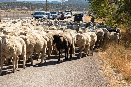 sheep being herded on a livestock corridor road Archivio Fotografico - 116653524