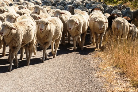 sheep being herded on a livestock corridor road Archivio Fotografico - 116653525