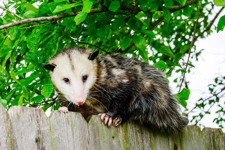 Grey and white opossum on a fence Stock Photo