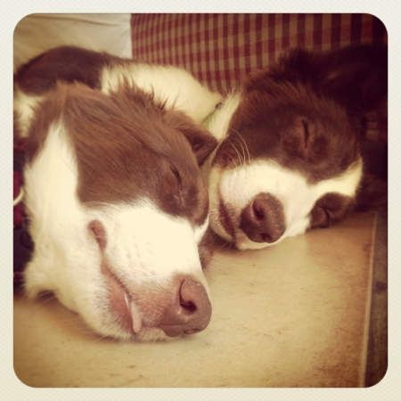 collies: Border collies asleep