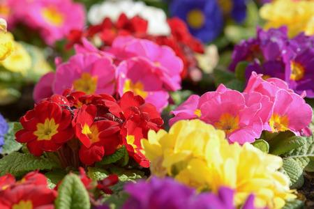 northwest africa: Primrose flowers