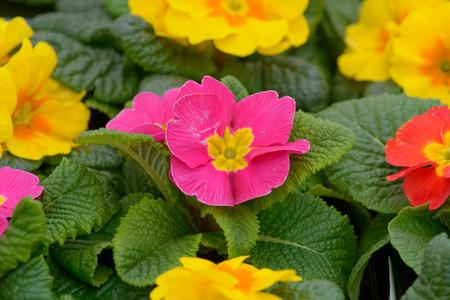 northwest africa: Pink primrose flower