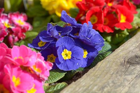northwest africa: Purple Primrose flowers